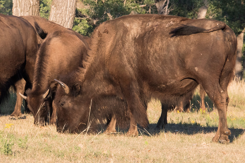 Young bison cow and calf graze