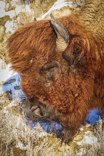 Bison Sleeping the Park in December