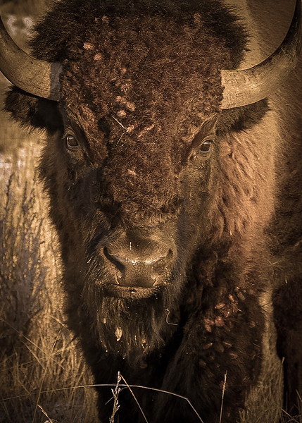 Moody Bison in the Badlands