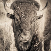 Portrait of a Bison in the Badlands #4