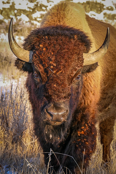 Bison at Golden Hour in Theodore Roosevelt National Park
