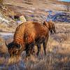 Bison Grazing in the Golden Hour