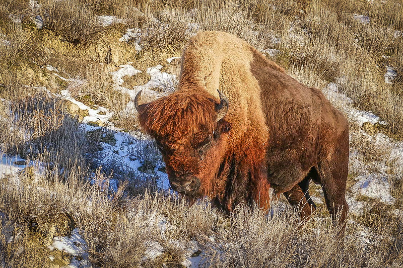 Bison  Snoozing in Theodore Roosevelt National Park