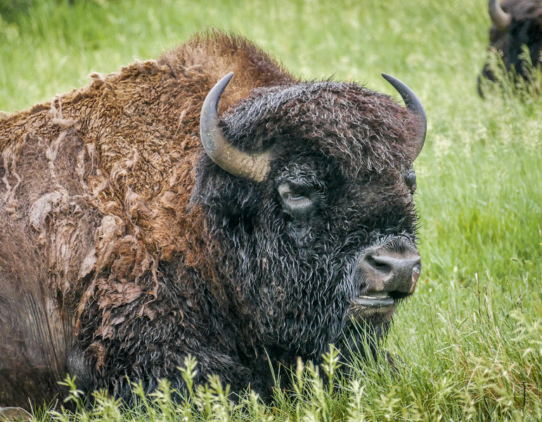 Bull Bison at the Oxbow