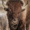 Portrait of a Bison in the Badlands  #2