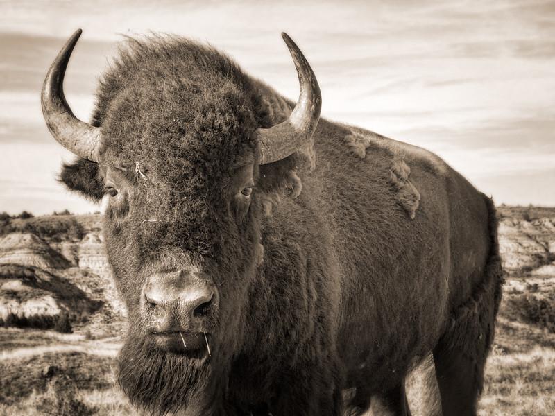 Buffalo up close