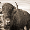 Buffalo up close