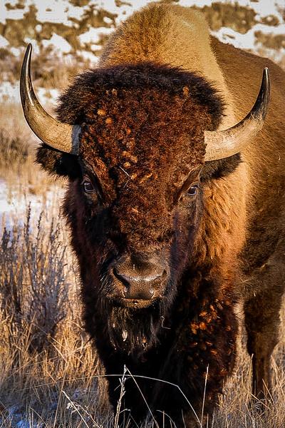 Portrait of a Bison in the Badlands #3