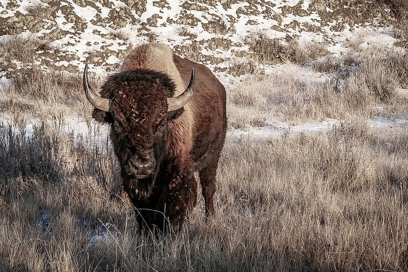 Bison Greeting in the Winter Badlands  #2