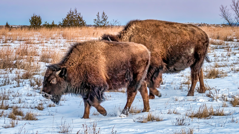 Two Bison Grazing in Winter at Sunset