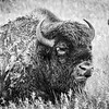 Bull Bison at the Oxbow      b x w