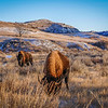 Bison Graze as Golden Hour Begins