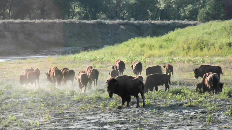 Bison Head to Water on an Early July Morning