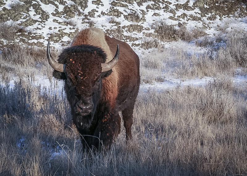 Bison Greeting in the Winter Badlands  #1