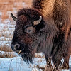 Bison Crunching Frozen Grasses in the Badlands