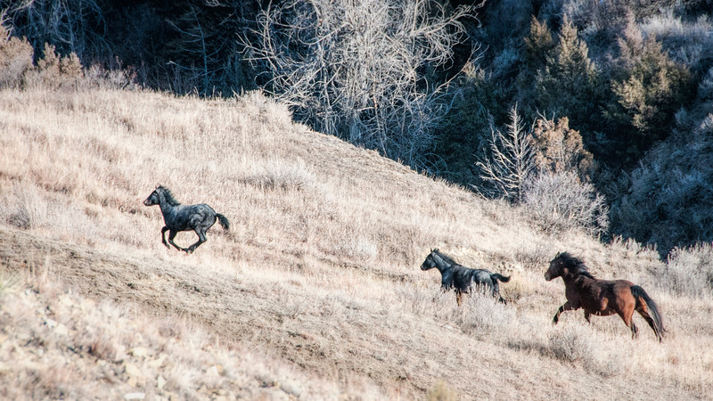 """Autumn in the south unit of the Theodore Roosevelt National Park, horses run up  the hill.<br /> <br /> You can collect this image as a print, canvas wrap or another item. Just click the """"buy"""" button."""