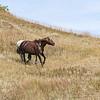 Wild Horses of Theodore Roosevelt National Park, North Dakota  #2