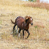 Wild Horses of Theodore Roosevelt National Park, North Dakota  #6
