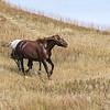 Wild Horses of Theodore Roosevelt National Park #1
