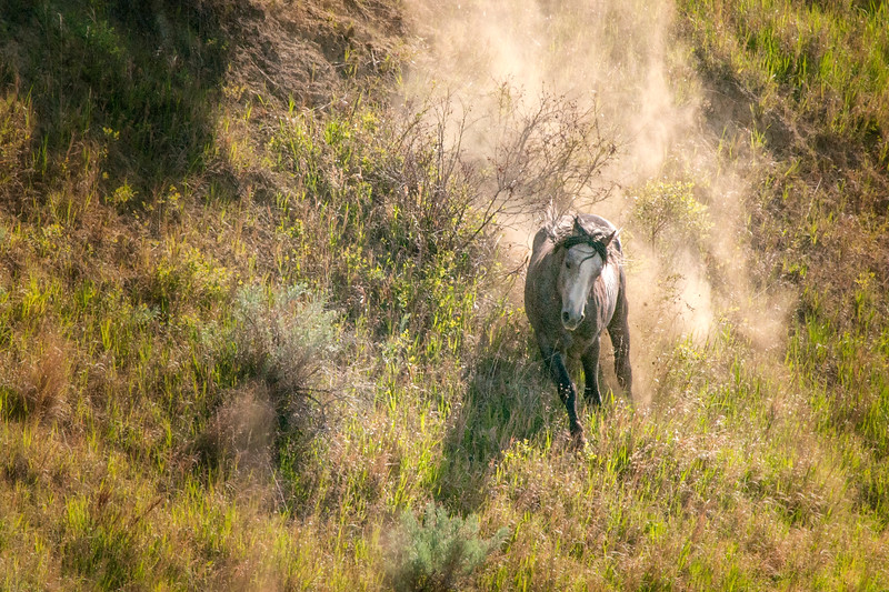 """One of the wild horses of the Theodore Roosevelt National Park kicks up winter's dust running down a hill in the park. <br /> <br /> You can collect this image as a print, canvas wrap or another item. Just click the """"buy"""" button."""