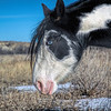 """Circus, a true """"medicine hat"""" horse at the Theodore Roosevelt National Park.  What is a medicine hat horse?  Glad you asked.<br /> <br /> <a href=""""https://wp.me/p8zmWn-12q"""">https://wp.me/p8zmWn-12q</a>"""