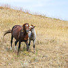 Wild Horses of Theodore Roosevelt National Park, North Dakota  #5