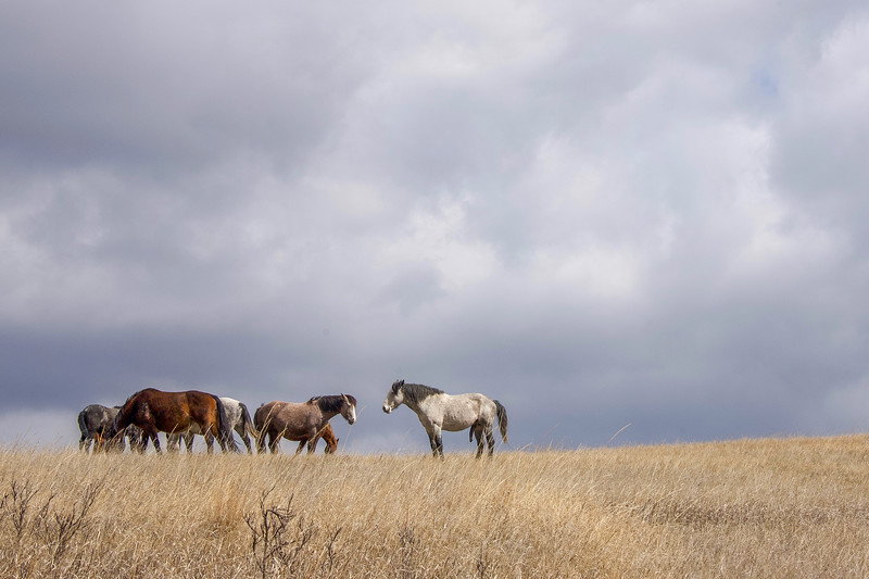 Wild Horses Content in Early Spring, Theodore Roosevelt National Park, North Dakota