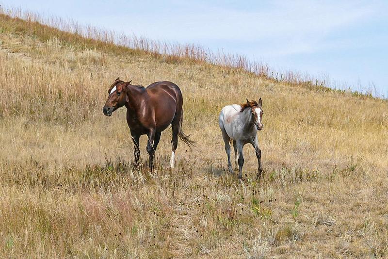 Wild Horses of Theodore Roosevelt National Park, North Dakota  #3