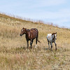 Wild Horses of Theodore Roosevelt National Park, North Dakota #4