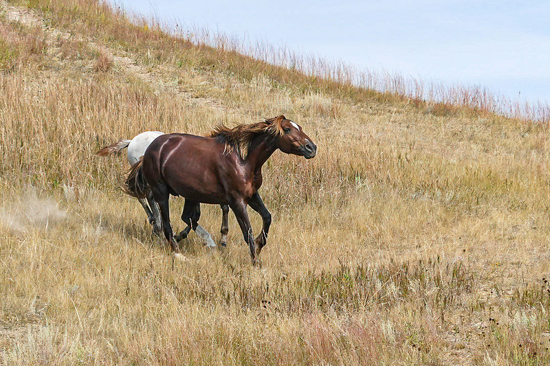 Wild Horses of Theodore Roosevelt National Park #1