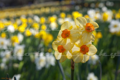 Affirmative action - Daffodil style.