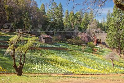 Daffodil Hill.