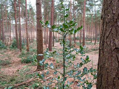 Holly Leaf tree with big trees in the background