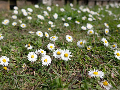 Oxeye Daisy Flower with grass background