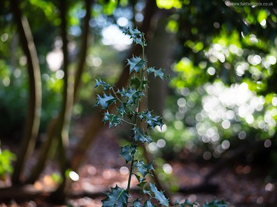 Pointed leaves - Holly with blurred background