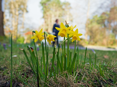 Yellow bells flower - Daffodils