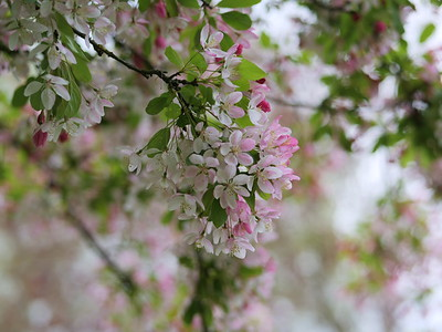 Cherry Blossom season - Pink flowers