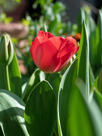 Red Tulip flower with green leaves