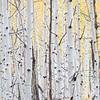 Aspen Tree foliage