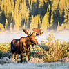 Moose at Brainard Lake