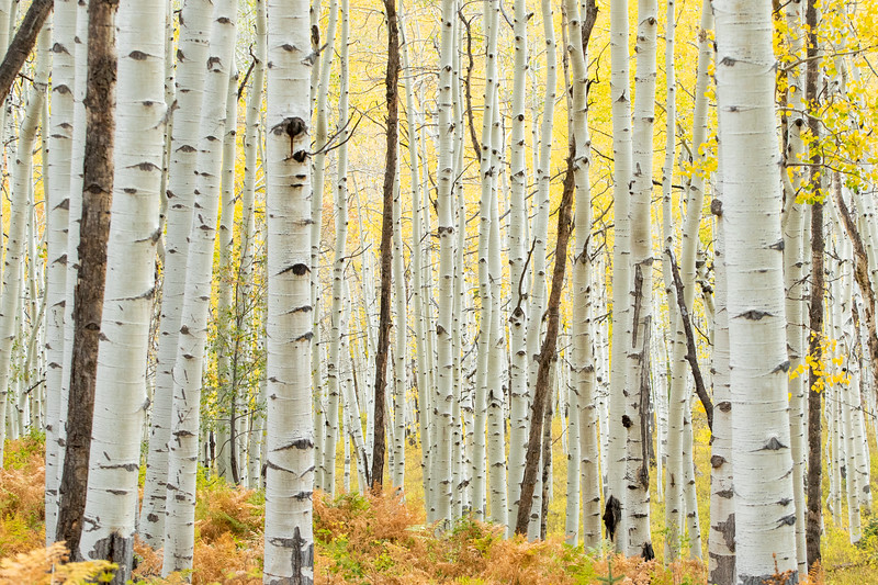 Fall Foliage in Crested Butte, CO