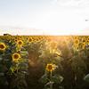 Sunflower Fields near DIA
