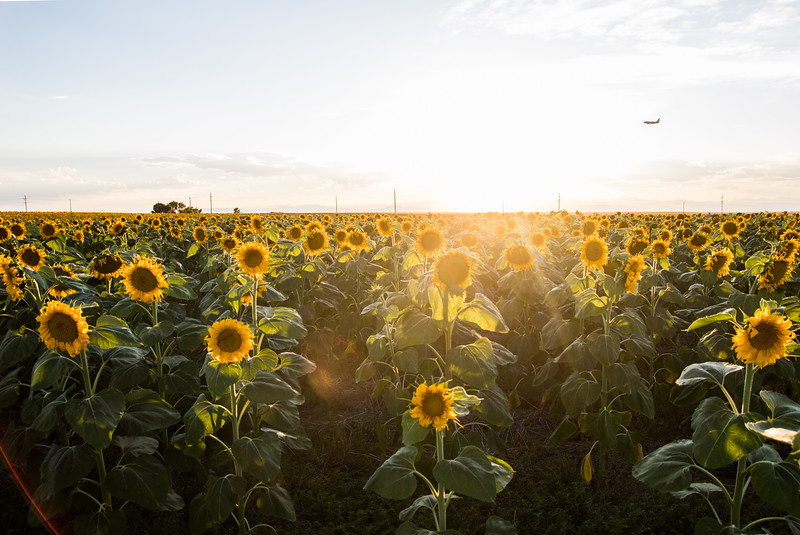 Sunflower Fields near DIA