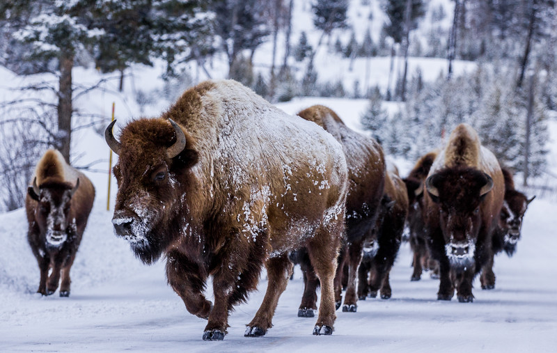 Wild Buffalo in Yellowstone National Park