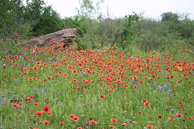 A  colorful mixture of wildflowers in the Texas Hill Country