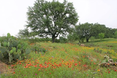Spring wildflowers near Burnet TX