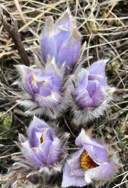 Fuzzy Crocus Begins to Bloom in the Beautiful  Badlands of Western North Dakota