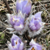 Fuzzy Crocus Begins to Bloom in the Beautiful  Badlands of Western North Dakota