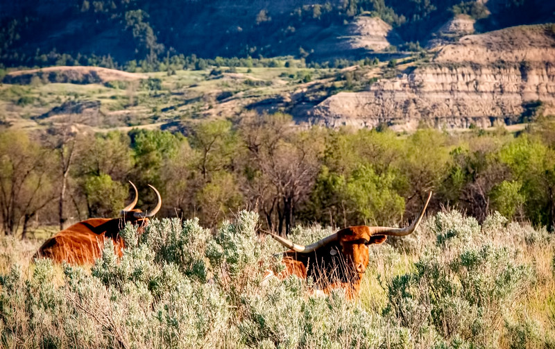 longhorn in the sagebrush