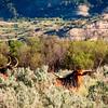 longhorn in the sagebrush